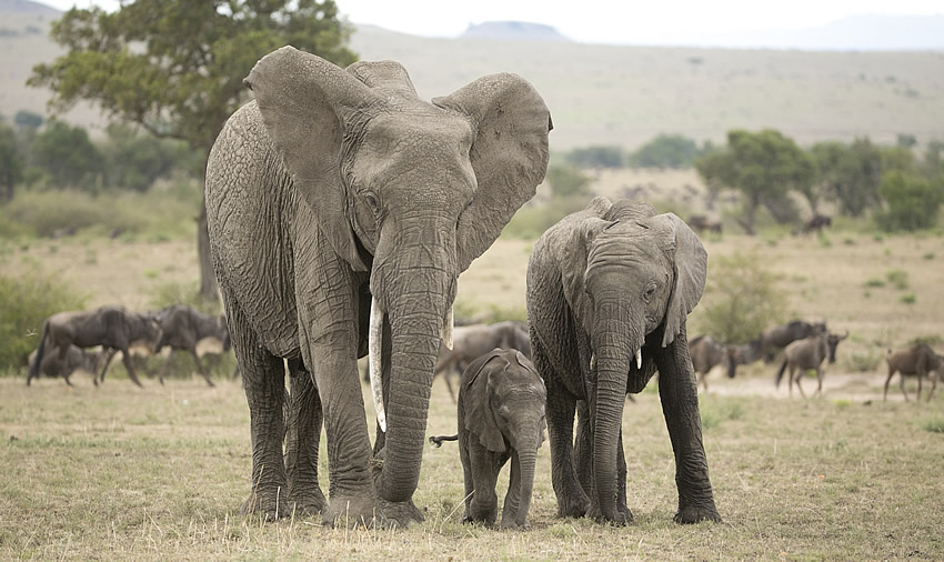 Mara elephants. Photo credit: ElephantVoices