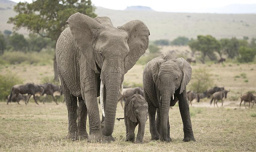 Mara elephants. Photo credit: ElephantVoices
