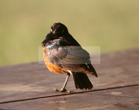 One-legged Hildebrandt starling visiting us in the Elephant Research Camp. (©ElephantVoices)