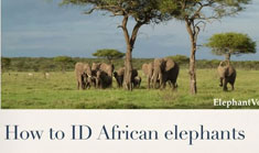 How to identify African elephants