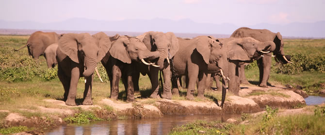 Amboseli elephants drinking and socializing. (Copyright: ElephantVoices)