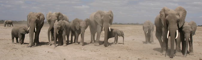 Segment of the GB family in Amboseli. (Copyright: ElephantVoices)