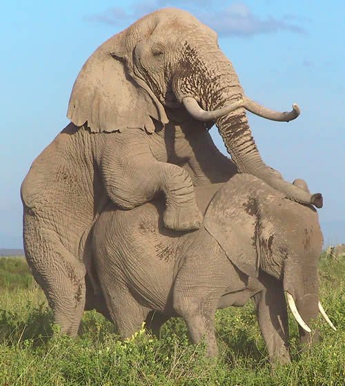 Elephant mating. (©ElephantVoices)