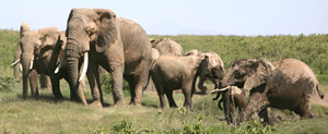 Females rumble in excitement at the arrival of musth male, Gomer, in Amboseli. (©ElephantVoices)