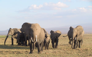 A group advances in a bunched formation towards an external threat. (©ElephantVoices)