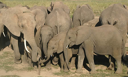 Soft, unmodulated, low-pitched calls is often used in a family group to reassure calves. (©ElephantVoices)
