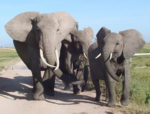 Distressed elephants produce a wide range of calls. (©ElephantVoices)