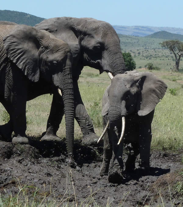 Diminutive female elephant - f0341 in the Mara Elephants Who's Who database. (©ElephantVoices)