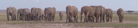 Amboseli elephants. (©ElephantVoices)