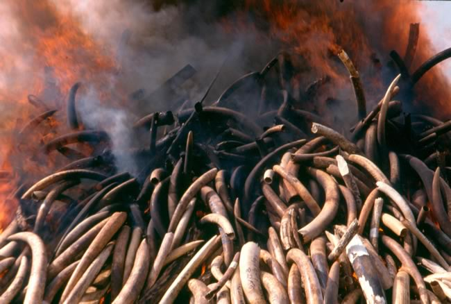 Ivory burning in Kenya 1991. Copyright: ElephantVoices