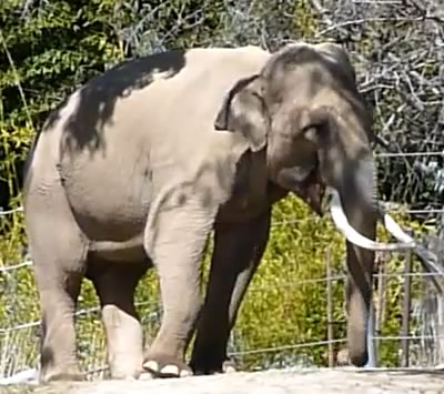Billy in LA Zoo. (©ElephantVoices)