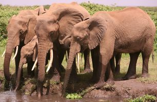 Thirsty  elephants  in Amboseli. (©ElephantVoices)