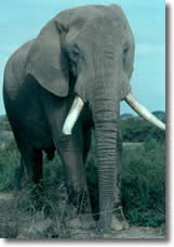 Dionysus in  full musth in mid nineties. (©ElephantVoices)