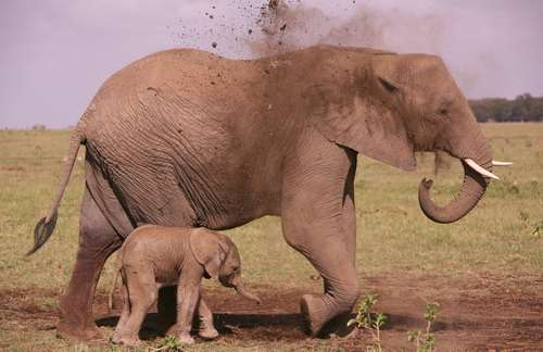 There are many babies in Amboseli these days - which indicates that 2006 and  2007 where years with enough rain and food. But times are harder now -  even though dusting feels good for elephants even in the best of    times. (©ElephantVoices)