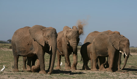 Amboseli elephants dusting