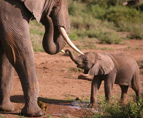 Amboseli  calf investigating big boy. (©ElephantVoices)