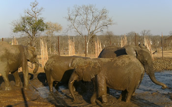 The Sondelani elephants sosializing before being transported back to freedom in Hwange National Park.