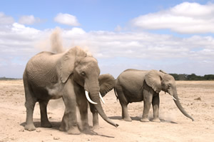 Dusting elephants. Copyright: ElephantVoices