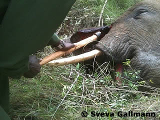 Elephant poached on 22 June 2013 - died on 24 June.