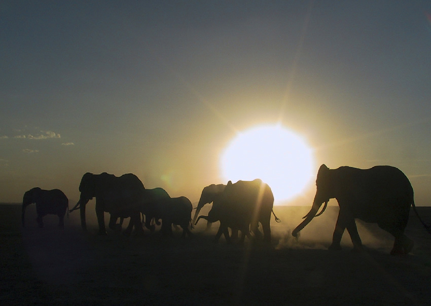 Amboseli elephants on row. Photo: ElephantVoicesw