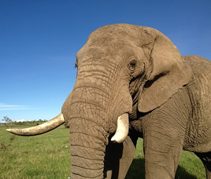 Typical Ear-Folding. (©ElephantVoices)