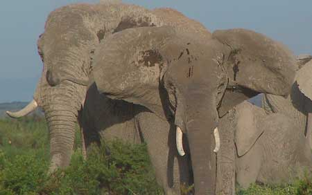 Link to ElephantVoices Gestures Database. Image shows Post-Copulatory-Stance: A mated female stepping forward Head-Raising, Ear-Lifting, Tail-Raising and Rapid-Ear-Flapping, streaming Temporin and with Mouth-Open calls with a powerful series of characteristic rumbles. The female alternatively turns toward the male and reaches her trunk to touch his penis (Test-Genitals) or semen on the ground (Test-Semen) and then again turns rapidly outward and upward (away from the male; probably to ensure long-distance advertisement of availability; this would also qualify as a form of Spinning) Ear-Lifting, Tail-Raising and Rapid-Ear-Flapping and with Mouth-Open calls loudly and repeatedly at lengthening intervals and diminishing sound pressure levels. These extremely powerful and characteristic calls attract the attention of distant males and may be repeated for up to 45 minutes. Copyright: ElephantVoices