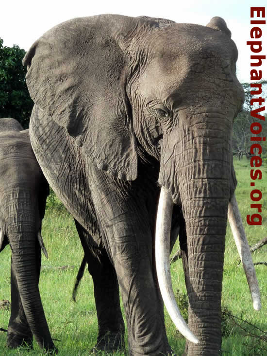 10f1a7d8d How to use tusk characteristics to ID African elephants