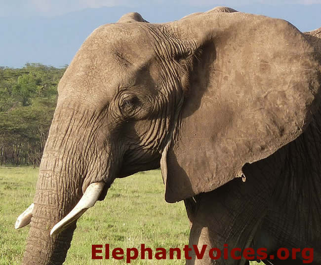 4a95b670c ... Photo C7  Grooves are sometimes worn on the tips of an elephant s tusk  ...