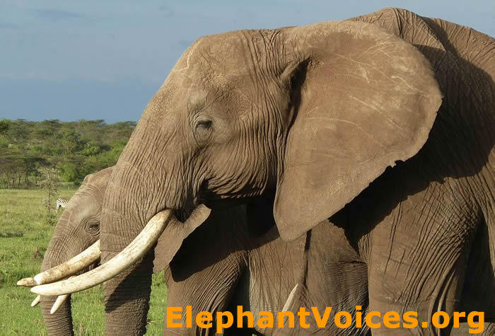 How To Use Ear Notches And Tears To Id African Elephants