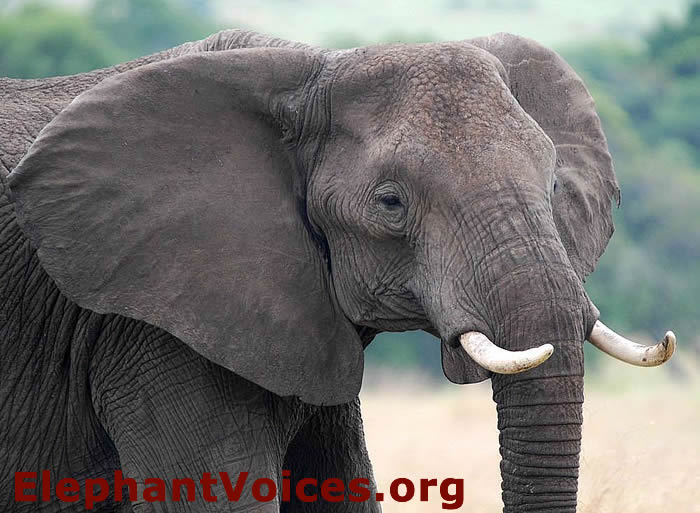 How To Use Ear Lobe Size And Shape To Id African Elephants