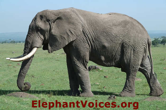 African Elephant - Description, Habitat, Image, Diet, and ...