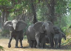 Gorongosa elephants. Photo by Andreas Ziegler.