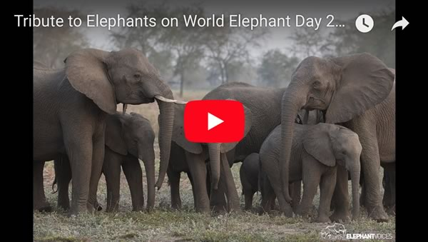 Screenshot ElephantVoices film Tribute to Elephants