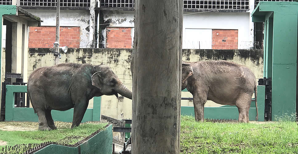 Koala (left) and Carla kept separate and under appalling conditions in Rio Zoo in December 2016 - Koala eagerly trying to connect with a deeply disturbed and apathetic Carla. ©ElephantVoices