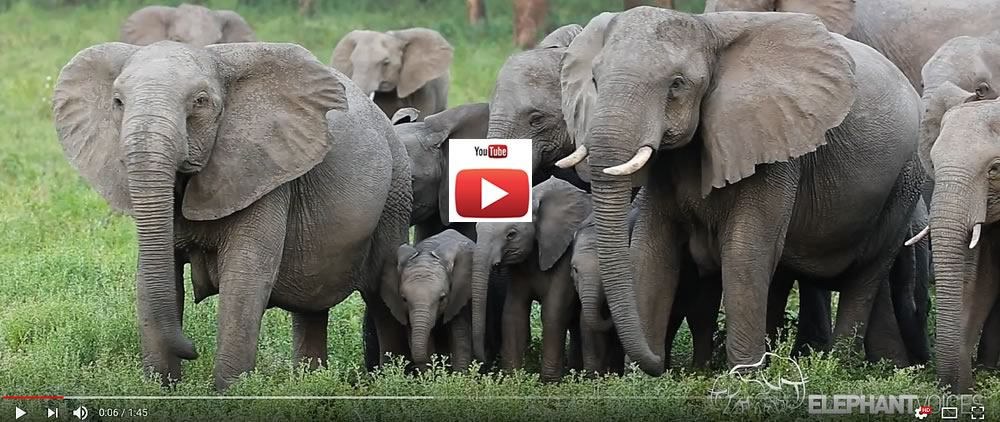 ElephantVoices #behavemoreelephant video