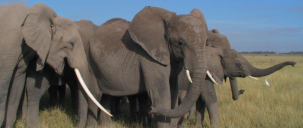 """Résultat de recherche d'images pour """"elephants"""""""