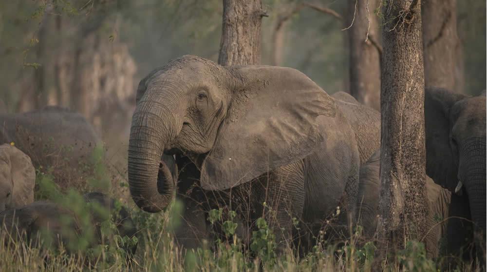 8a0902ed3a6 The Gorongosa Elephants