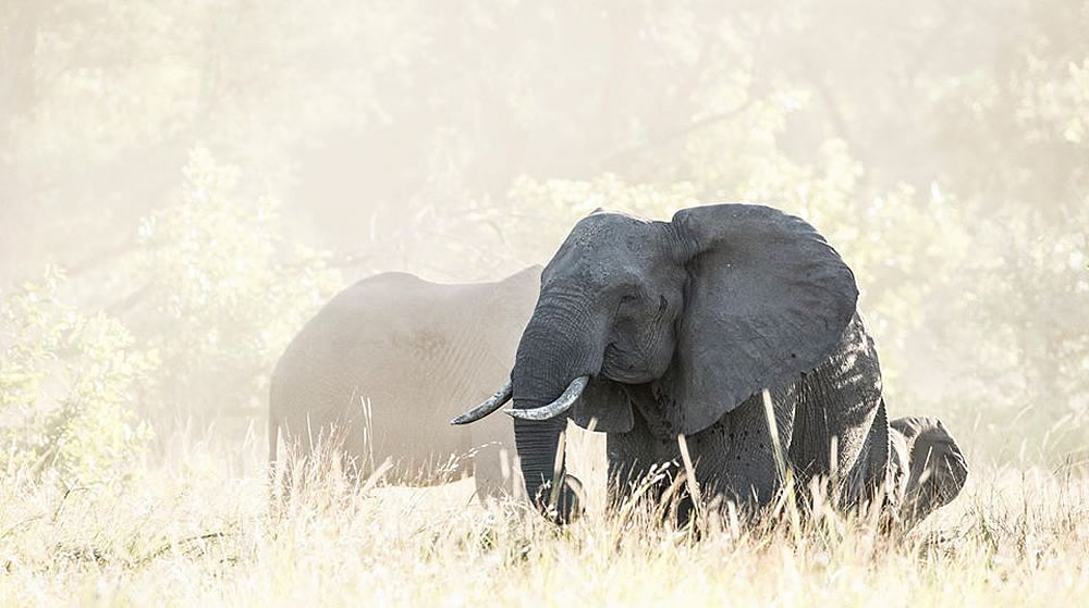 34074d9ba8b Gorongosa National Park female Emília and her calf pause in the dust raised  by a rowdy aggregation of 45 elephants. Emília was named by our colleague  ...