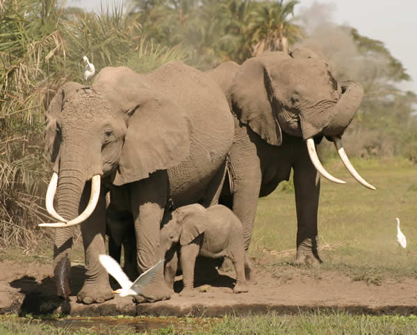 Echo, baby and Enid drinking by Amboseli swamp. (Copyright: ElephantVoices)
