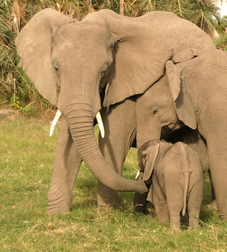 Elephants Learn From Others
