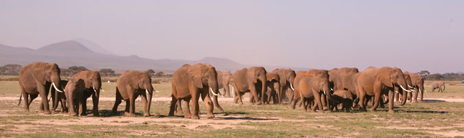 Amboseli elephants on the move. (©ElephantVoices)