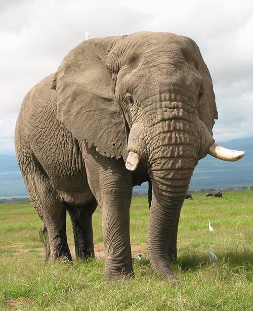 Mr. Nick, Amboseli  elephant, born 1957. (Copyright: ElephantVoices)