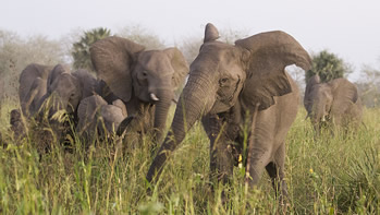 Corejosa and others from Gorongosa's C family trumpet-blast as they mob us. (©ElephantVoices)