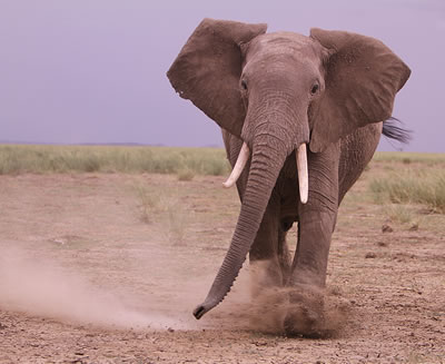 Amboseli elephant trumpet loudly - mock-charge-play-trumpet. (©ElephantVoices)