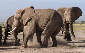 Aggression among elephants most often leads to vocalizations. (©ElephantVoices)