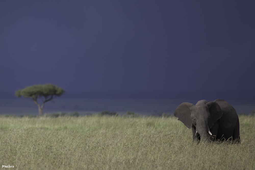 Elephant on Mara Conservancy. (©Marcus Westberg)