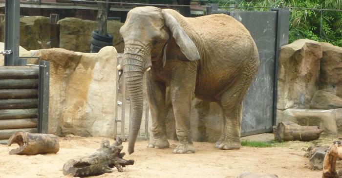 Sad elephants in barcelona zoo sanctuary in europe needed for Elephant barcellona