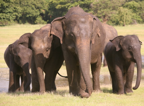 Sri Lanka  elephants. (©ElephantVoices)