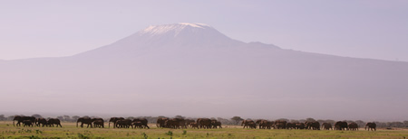 Amboseli elephants with Kilimanjaro. (©ElephantVoices)