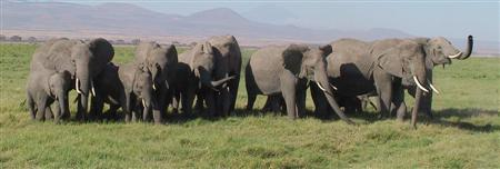 Bunched elephants confront a predator.  (©ElephantVoices)